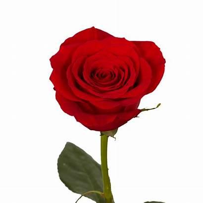 Single Roses Rose Flowers Arrangements Mother Mothers