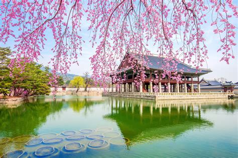 cherry blossoms  japan korea  av travel