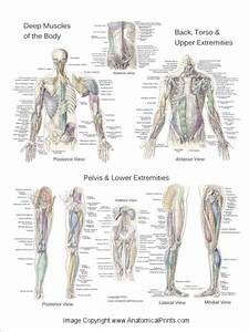 Deep And Superficial Muscle Anatomy Posters