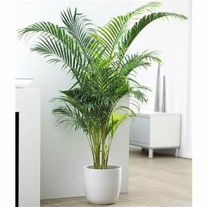 Plante De Salon : areca le palmier facile pour les int rieurs lumineux takaplanter ~ Teatrodelosmanantiales.com Idées de Décoration