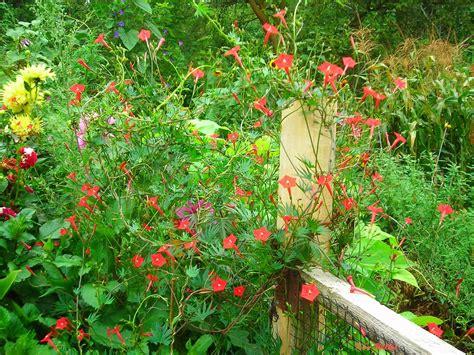 cardinal climber gardening granny s gardening pages cardinal climber vine an exotic beauty