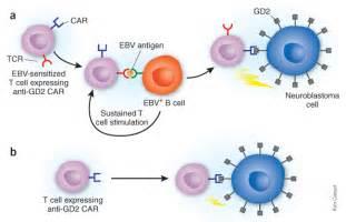 Epstein-Barr Virus B Cells