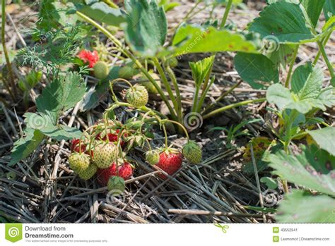 green bush with berries bush of strawberry stock photo image 43552941