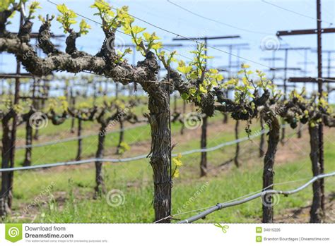grapevine  spring royalty  stock image image