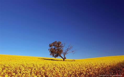 nature canola field picture nr