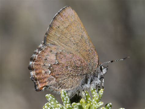 Callophrys Augustinus On Eurobutterflies By Matt Rowlings