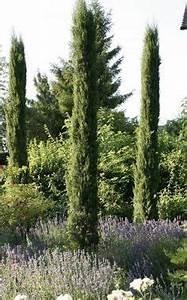 Säulen Pflanzen Winterhart : guter hoher sichtschutz immergr n extrem winterhart prunus laurocerasus 39 mano 39 hochstamm ~ Frokenaadalensverden.com Haus und Dekorationen