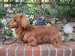 Red Miniature Long Haired Dachshund Sidcup Kent