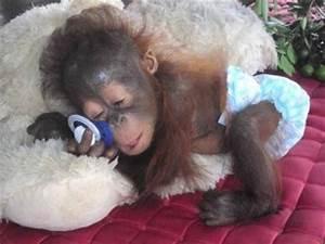 Sleepy time- precious!   Love for Orangutans #2 ...