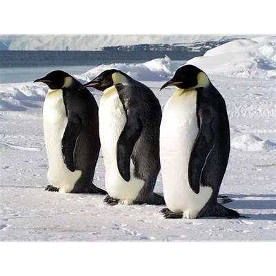 Animal Unique: Emperor Penguin