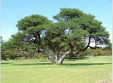 National Tree Of South Africa Real Yellowwood