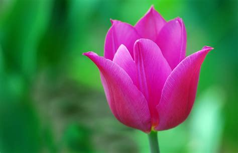 Tulip Picture Hd by Hd Tulip Picture Picture Of A Pink Tulip