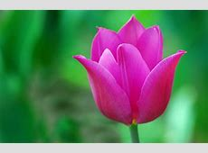 Hd Tulip Picture 1399 HDWPro