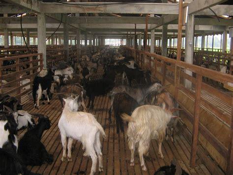 Vlog pembuatan kandang kambing baru sebagai motivasi dan referensi. Ternakan Kambing & Biri-biri : Kandang yang Sesuai