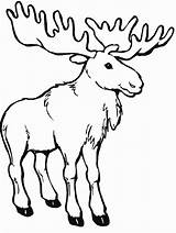 Moose Coloring Pages Canada Printable Printables Colouring Activity Canadian Outline Animals Animal Google sketch template