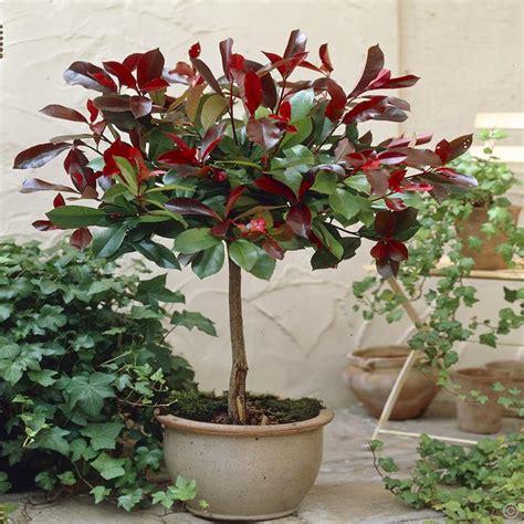 demi tige photinia robin 1 arbre achetez en ligne sur commander vite