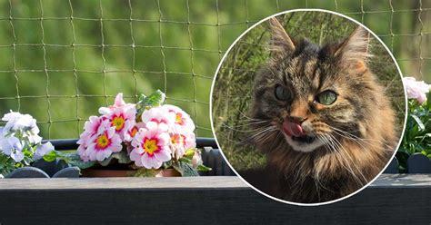 Gefahr Aus Dem Blumentopf: Sind Primeln Für Katzen Giftig?