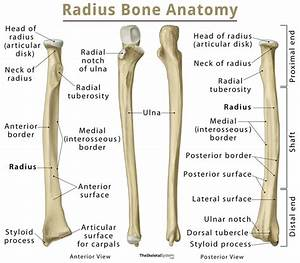 Radius  Definition  Location  Functions  Anatomy  Diagram