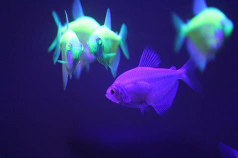 black light aquarium fish in aquarium with black light by irie stock on deviantart