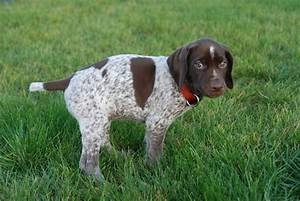 Bird Dogs Breeds - Dog Training Home | Dog Types
