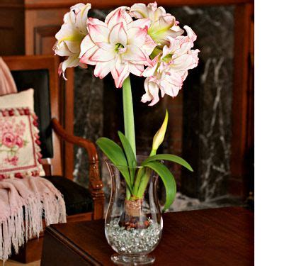 amaryllis aphrodite  bulb   hurricane vase