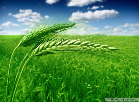 Free photo: Green Wheat - Agriculture, Wheat, Summer ...
