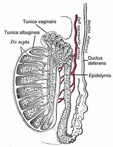 Testicular Anatomy