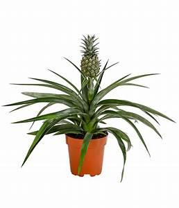Plant D Ananas : ananas dehner ~ Melissatoandfro.com Idées de Décoration