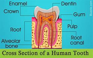 Information About The Human Tooth Anatomy With Labeled Diagrams