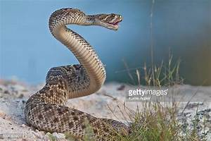 Rattlesnake Stock Photos and Pictures | Getty Images