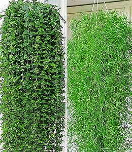 balkon kollektion hangepflanzen bei baldur garten With französischer balkon mit sukkulenten garten winterhart