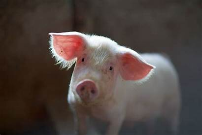 Pig Pigs Unsplash Breeding Julian Chickens Son