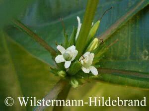 Gewächshaus Schmal Lang : hygrophila wasserfreunde ~ Whattoseeinmadrid.com Haus und Dekorationen