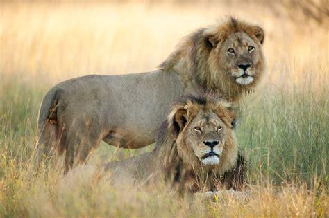 cecil    hundreds  lions killed   zimbabwe