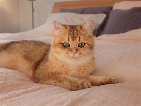 meet pumpkin  cutest black golden ticked british shorthair cat