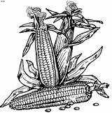 Corn Coloring Pages Indian Template Shocks Sketch Templates Popular sketch template
