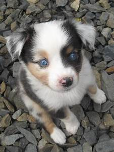 The gallery for --> Blue Merle Australian Shepherd Puppies ...
