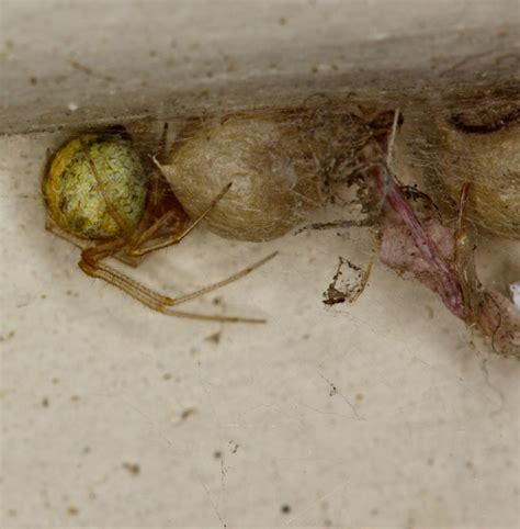 Boat House Johnston Ia by American House Spider Egg Sac