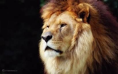 Lion Wild Desktop Animal Wide