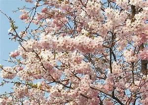Rosa Blühende Bäume April : gef llte winterkirsche prunus subhirtella 39 autumnalis 39 ~ Michelbontemps.com Haus und Dekorationen
