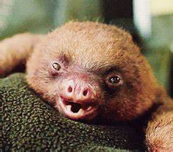 Sloth Yawning GIF - Find & Share on GIPHY