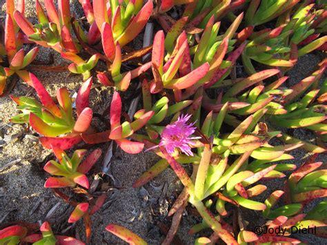 cal plants ice plants not so cool 171 beach treasures and treasure beaches