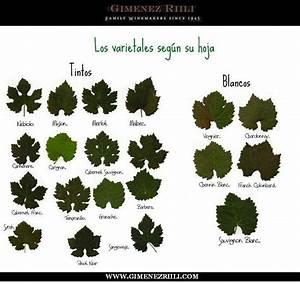 Las variedades de #uva según su hoja #vino   Curiosidades ...