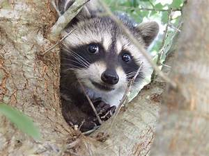 Raccoon Appreciation Day — Marvel Heroes Omega