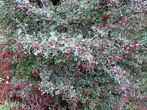 Strauch Mit Roten Beeren Im Winter : rosengew chse rosaceae ferienh user in azalas ~ Frokenaadalensverden.com Haus und Dekorationen
