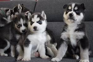 Husky Zu Verkaufen : tiere katzen kleinanzeigen ~ Orissabook.com Haus und Dekorationen