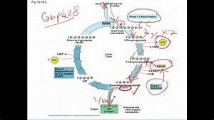 Ap Biology  Calvin Cycle