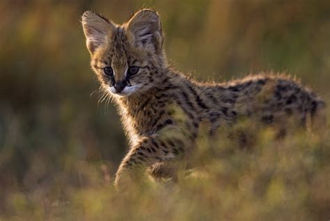 ten amazing small wild cats science smithsonian