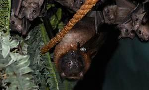 Egyptian Fruit Bat Pet