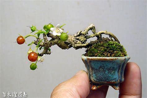 Teeny Tiny Bonsai-ed Crabapple Oh My Goodness Hello Baby